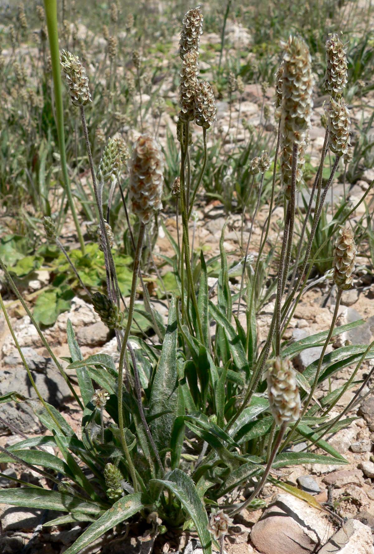 Photo of the plant Plantago ovata